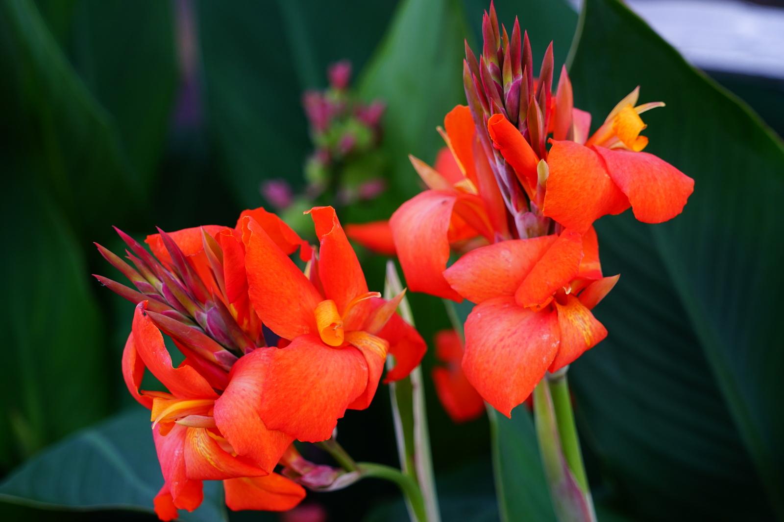 Anura Guruge Woods Hole flowers Massachusetts Sony a7 II August 23 2017